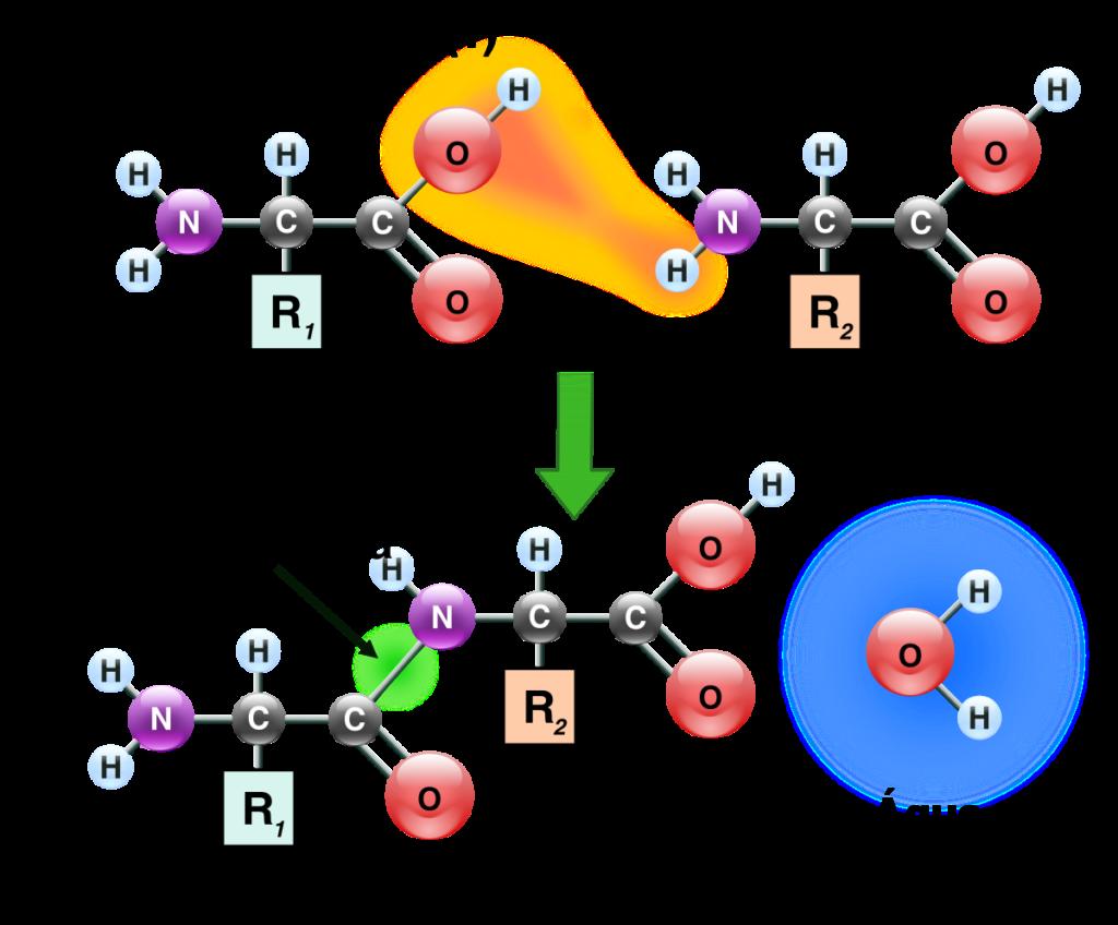 Aminoácidos - Ligação peptídica