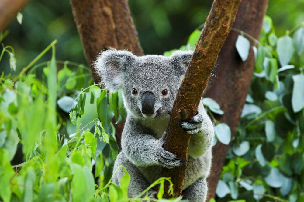 Marsupiais - Coala