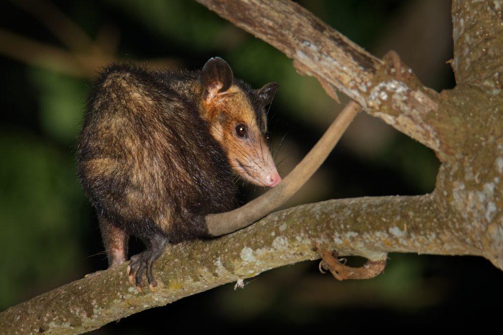 Marsupiais - Gambá