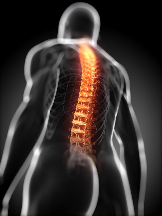 Órgãos do corpo humano - medula espinhal