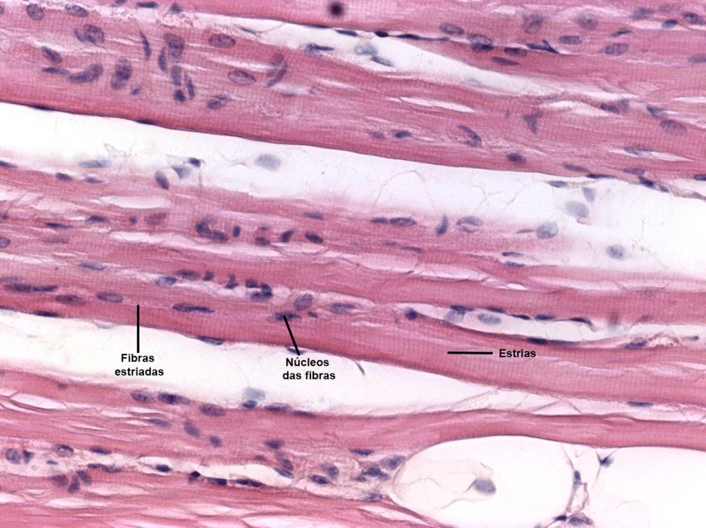 Sistema muscular - Músculo estriado esquelético