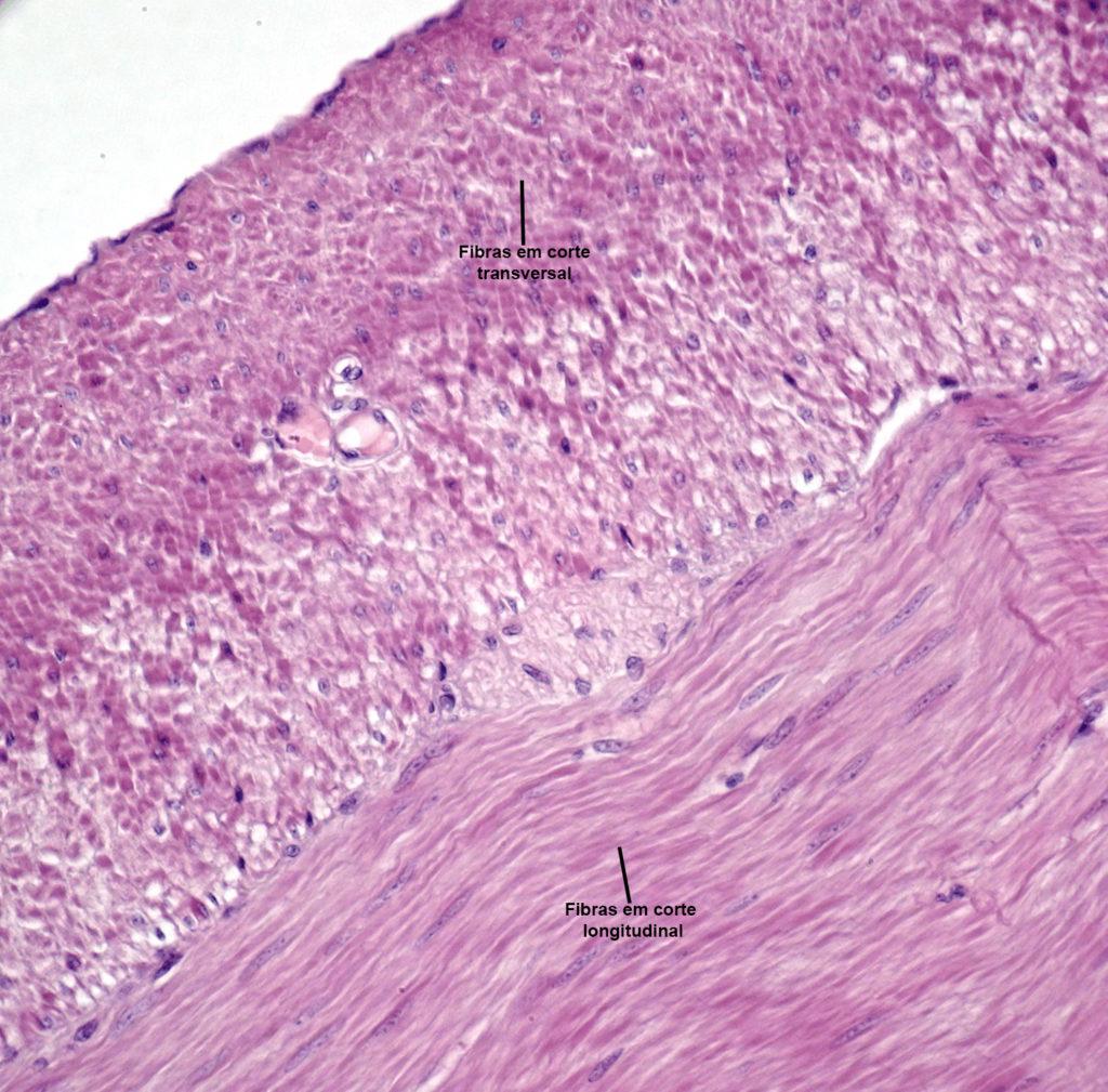 Sistema muscular - Músculo liso