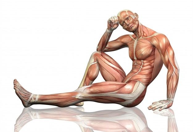 Órgãos do corpo humano - músculos