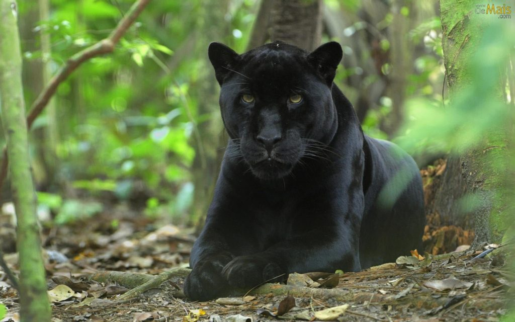 Felinos - Onça-preta