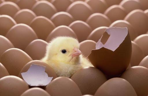 Aves - sistema reprodutivo, filhote saindo do ovo.