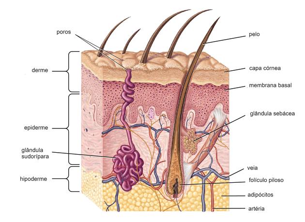 Órgãos do corpo humano - pele
