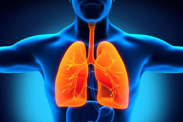 Órgãos do corpo humano - pulmões
