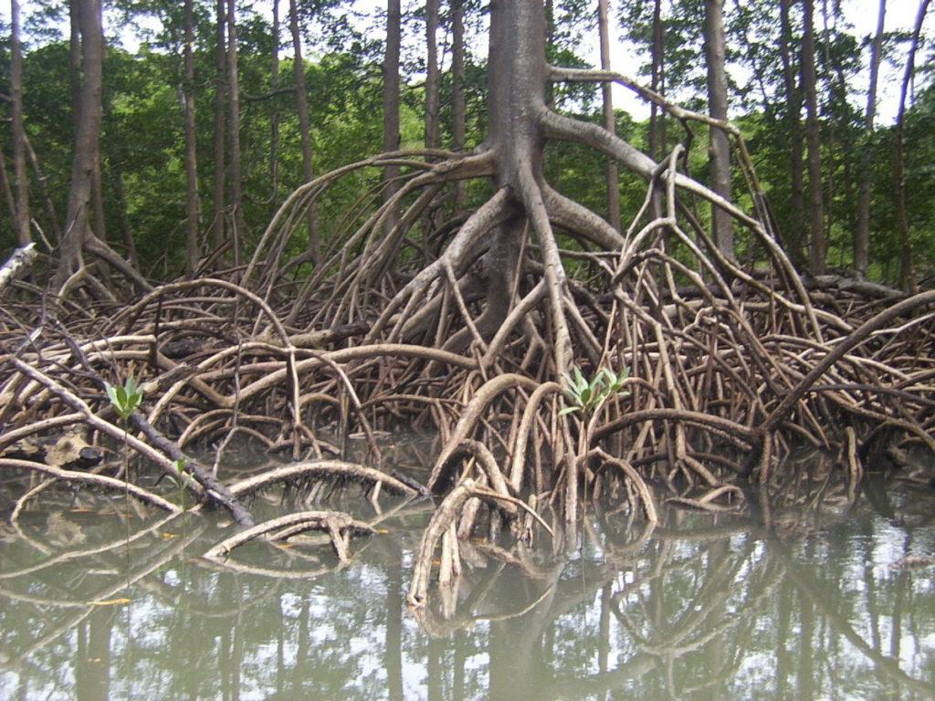 Tipos de raízes - Escora