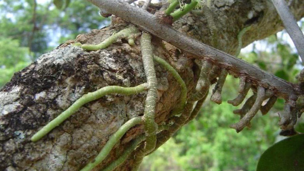 Tipos de raízes - Sugadora