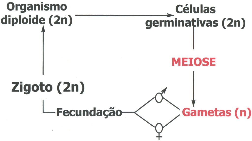 Reprodução sexuada - Produção dos gametas