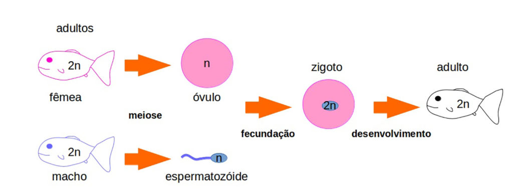 Reprodução sexuada - Fecundação