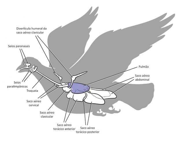 Aves - Sistema respiratório