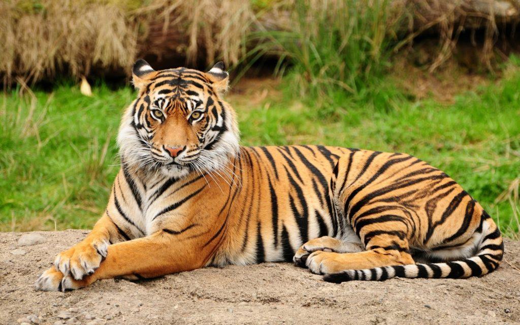 Felino - Tigre-de-bengala