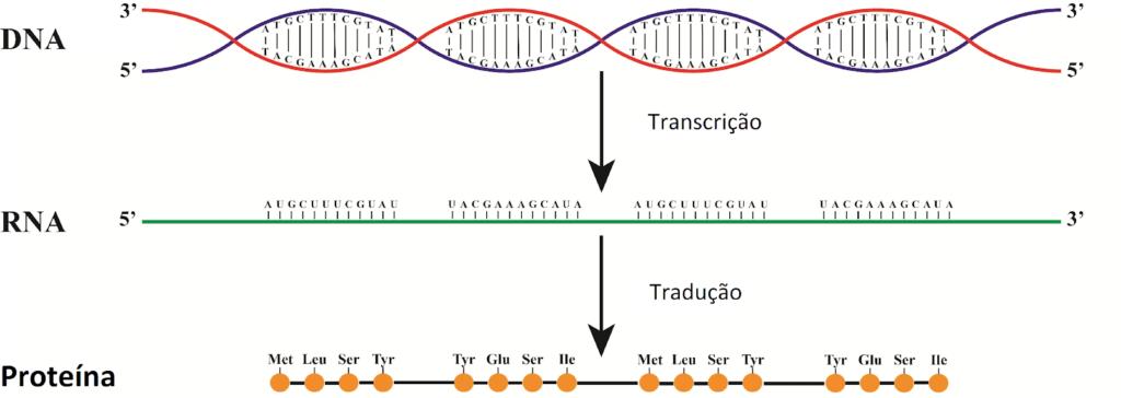 Síntese proteica - Expressão cênica através da transcrição e tradução de genes.
