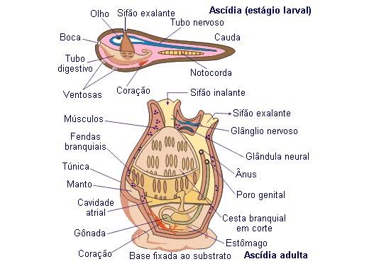 Cordados - Anatomia do subfilo Urochordata