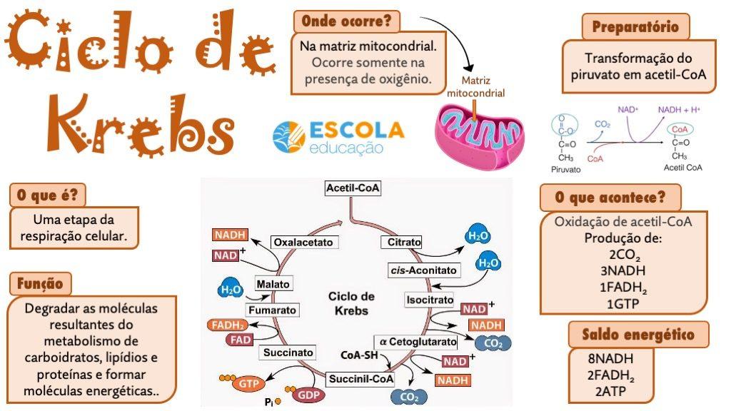 Mapa mental - Ciclo de Krebs