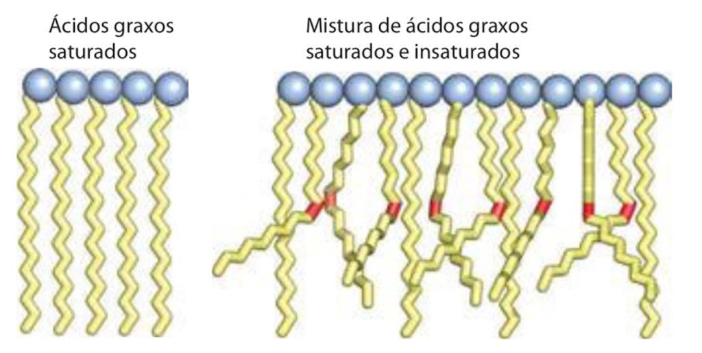 Ácidos graxos - Estrutura molecular de diferentes saturações.