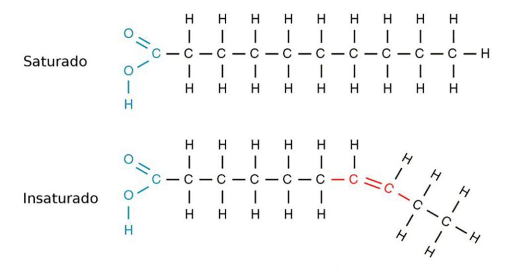 Ácidos graxos - Tipos de moléculas com saturação diferentes.