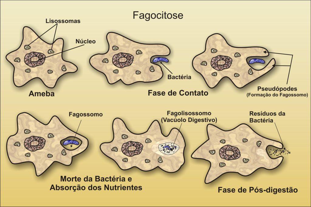 Fagocitose