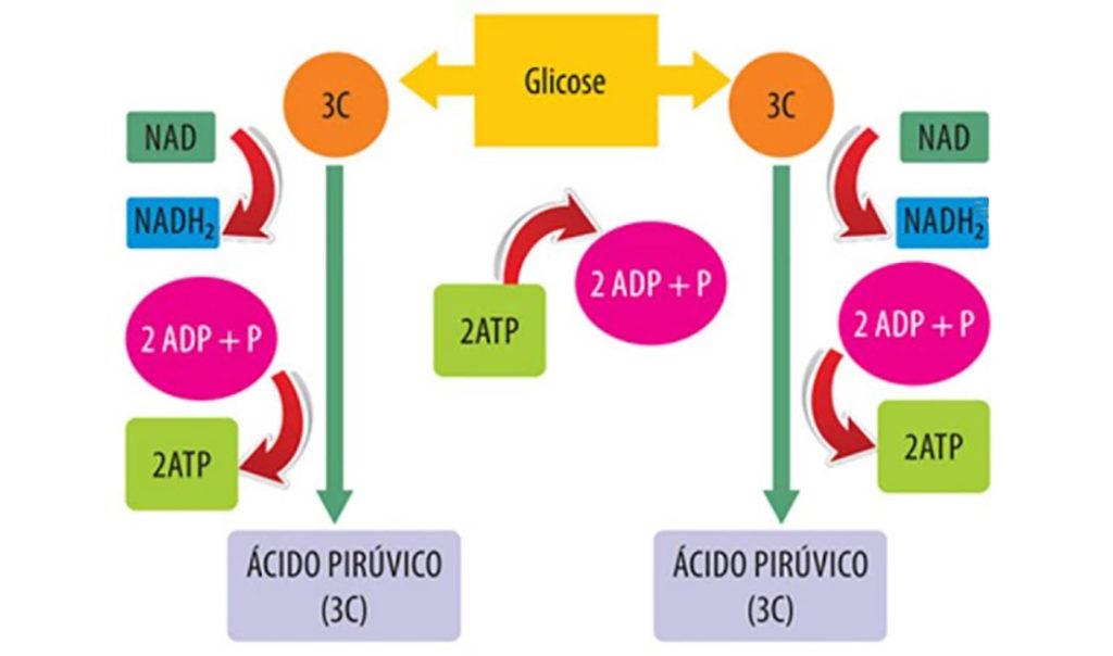 Metabolismo energético - Glicólise