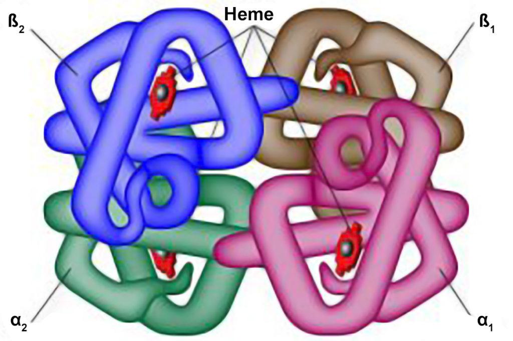 Hemoglobina - Estrutura