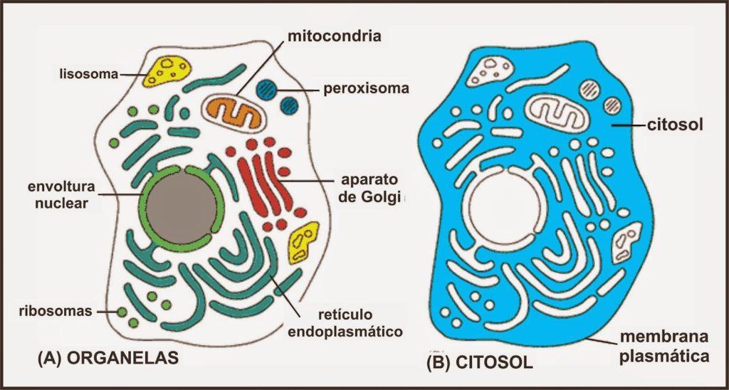 Hialoplasma - Citoplasma à esquerda e hialoplasma à direita em azul