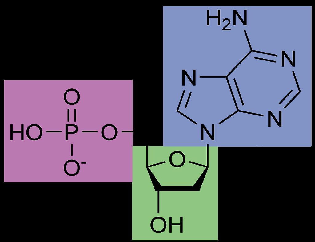 Nucleotídeo - Estrutura molecular