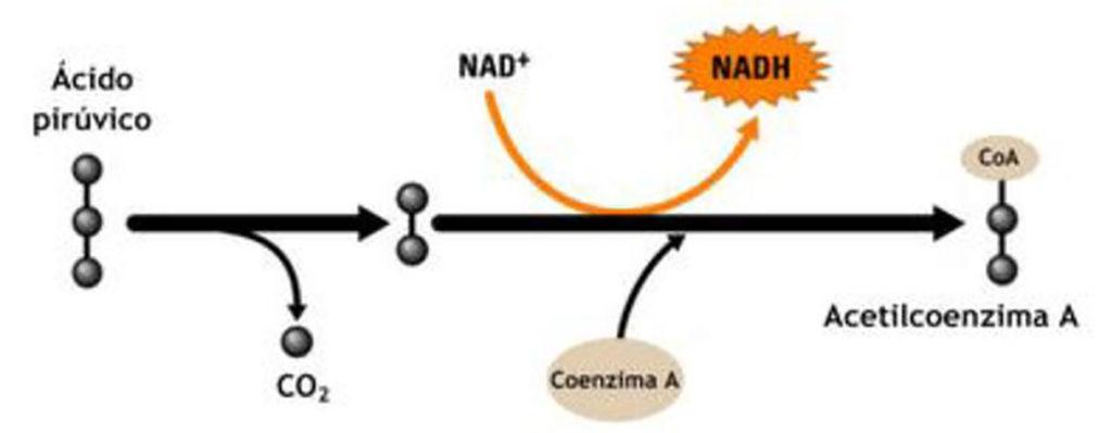 Ciclo de Krebs -Transformação do ácido pirúvico (piruvato) em acetilcoenzima-A