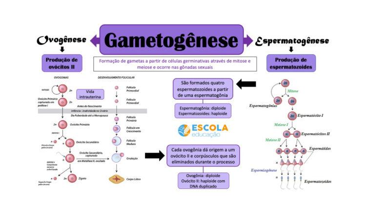 Mapa mental - Gametogênese