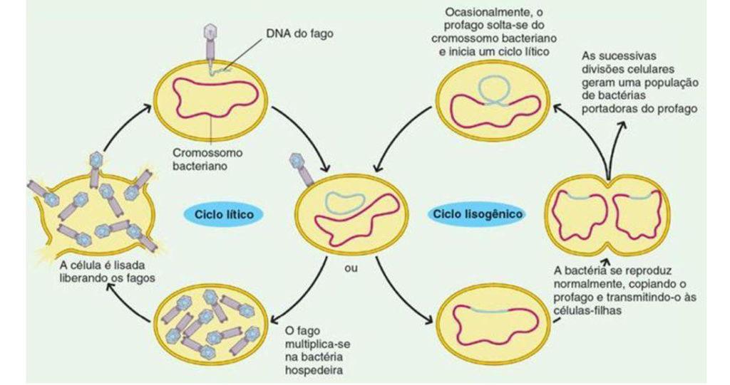 Bacteriófagos - Ciclos de vida