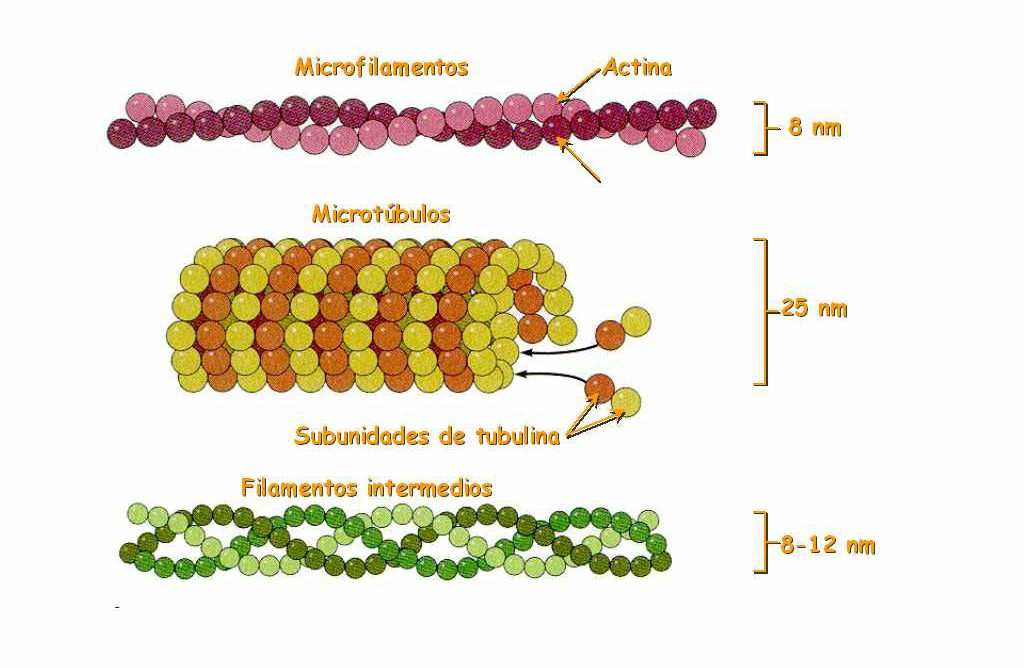 Citoesqueleto - Microfilamentos