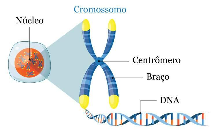Cromossomos - Estrutura
