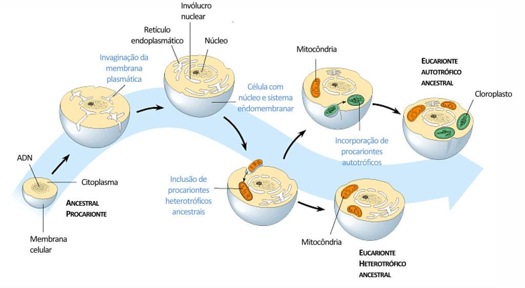 Endossimbiose - Como ocorreu a formação de mitocôndrias e cloroplastos