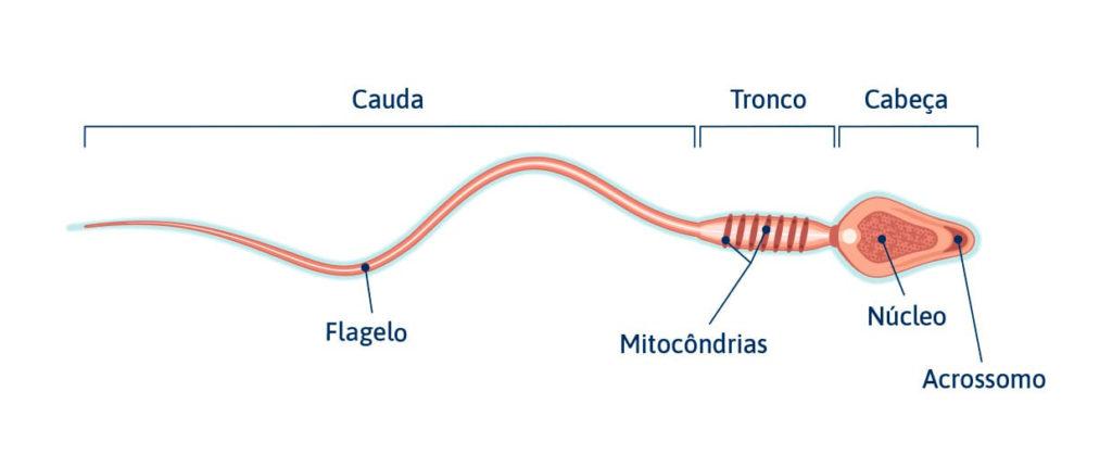 Espermatozoides - Estrutura