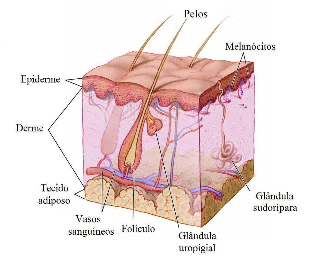 Pele humana - Estrutura anexas da pele