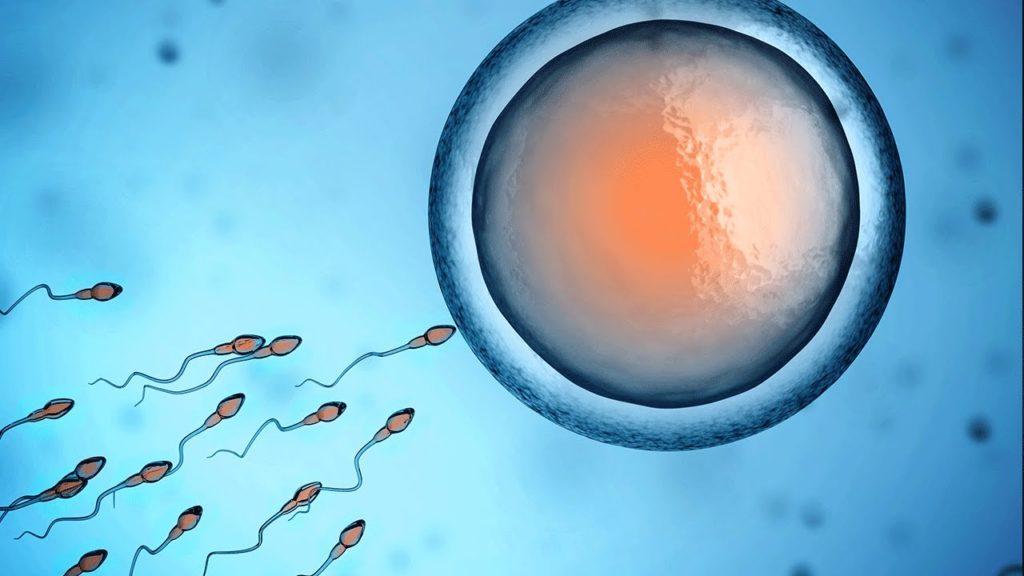 Embriologia - Fecundação humana