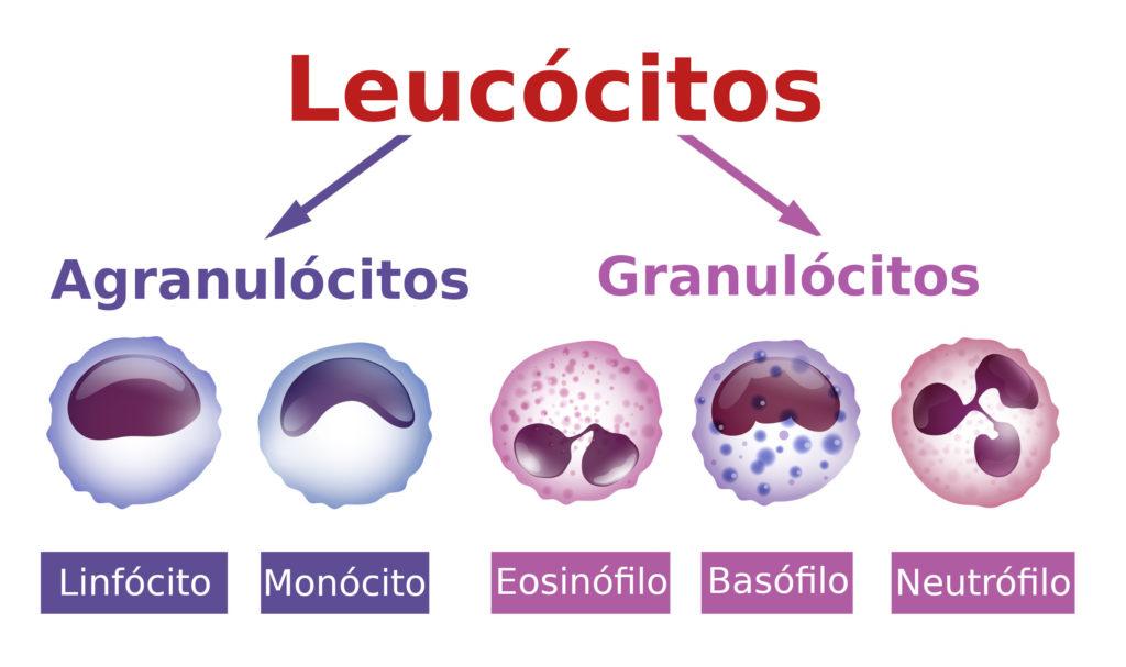 Tipos de leucócitos