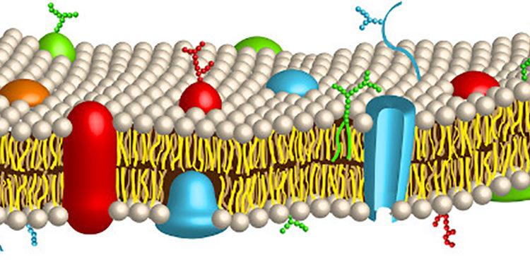 Transportes de membrana plasmática