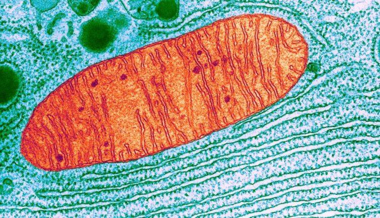 Endossimbiose - Mitocôndrias