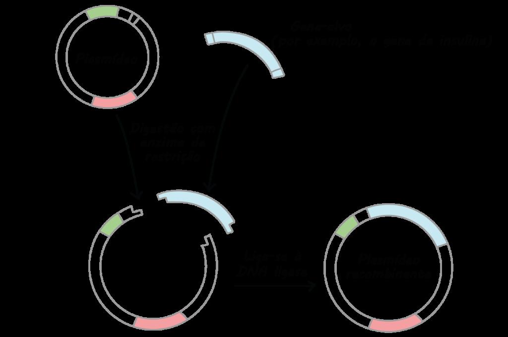 Bactéria - Plasmídeo com DNA recombinante