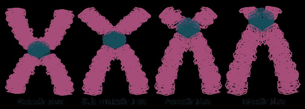 Cromossomos - Posição dos centrômeros