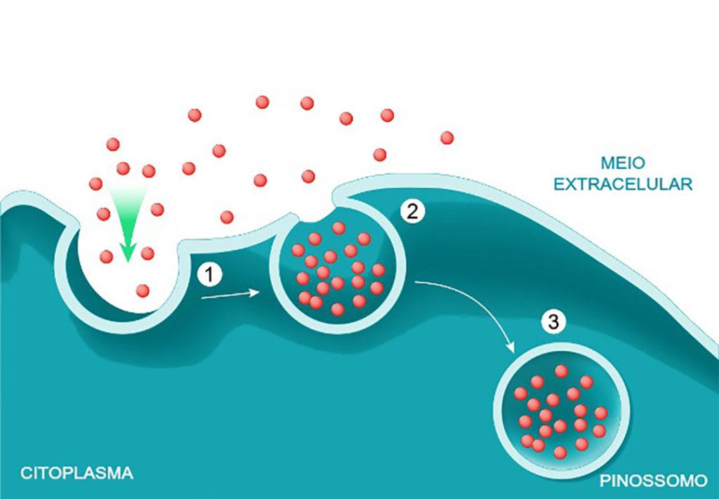 Processo de pinocitose