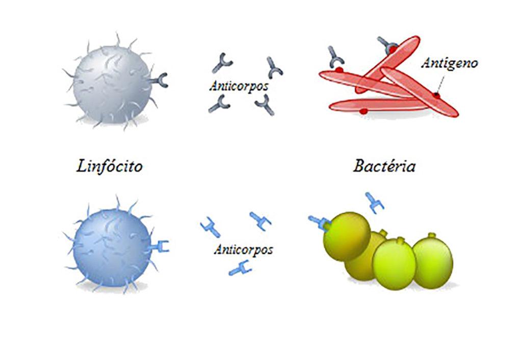 Ação dos anticorpos contra antígenos