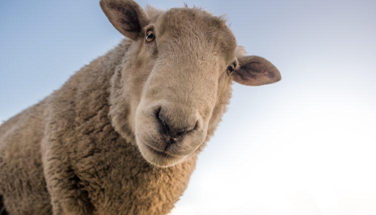 Características dos animais - Ovelha