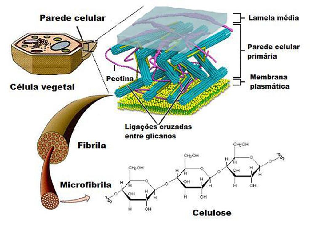 Parede celular - Estrutura primária