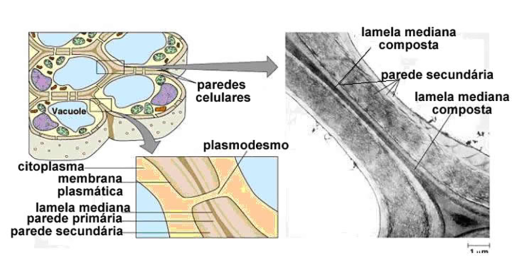 Parede celular - Estrutura secundária