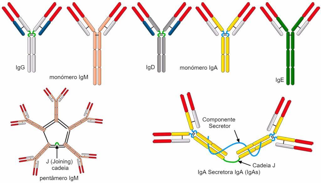 Tipos de anticorpos