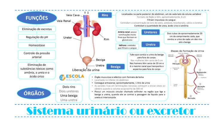 Mapa mental - Sistema urinário ou excretor