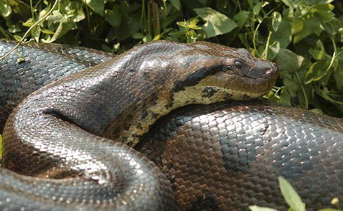 10 curiosidades sobre a sucuri - A maior cobra do mundo