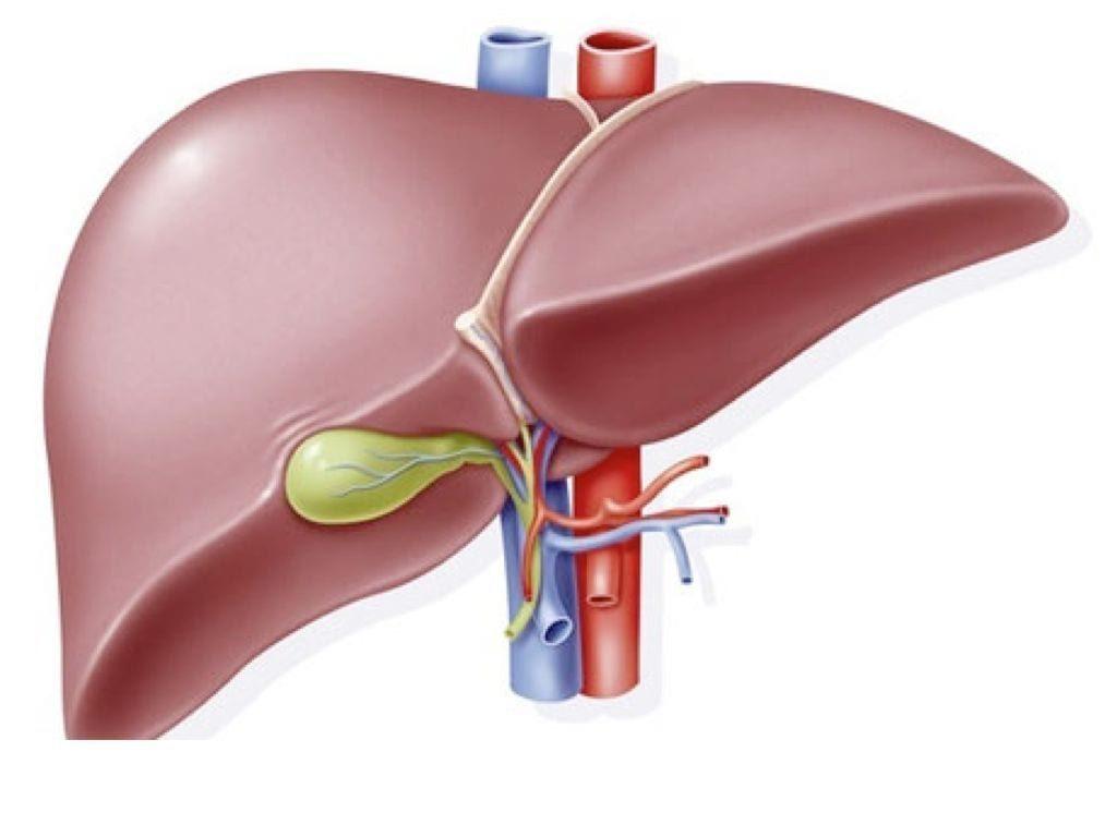 Glândula exócrina - Fígado